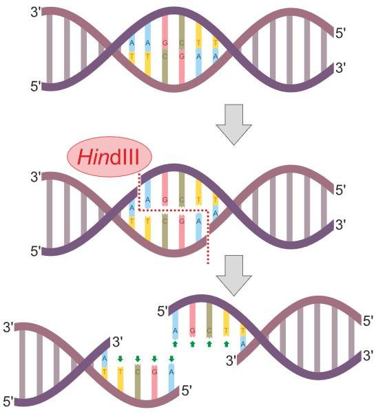 DNA restriction enzyme
