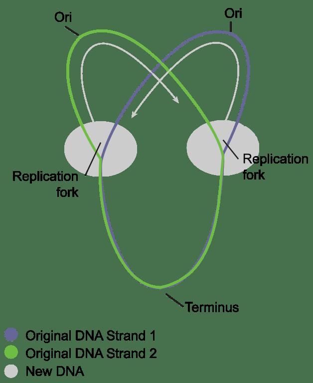 replication ori