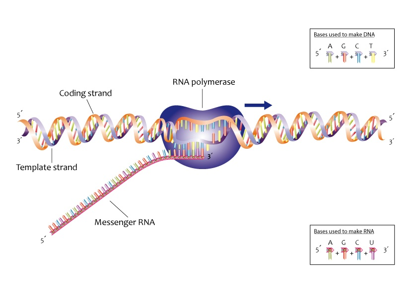 DNA transcription RNA