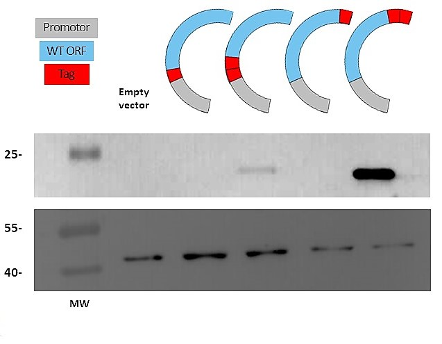 tagging protein vector promoter tag insert