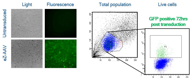 fluorescence viral live cell